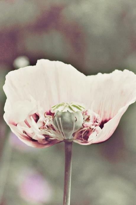 Delicate Poppy - Dusty Pink - Nature Photography - 8x8'