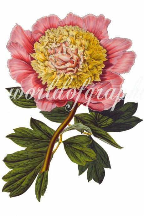 Antique Botanical Flower, Iron on Fabric, Transfer Burlap, Decoupage, Pillows Cards, Scrapbook-0024