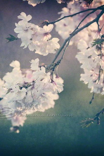 "Cherry blossoms Spring photo home decor pink 8x8"" print"