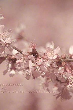 "Spring photo cherry blossoms home decor pale pink 8x12"" print"