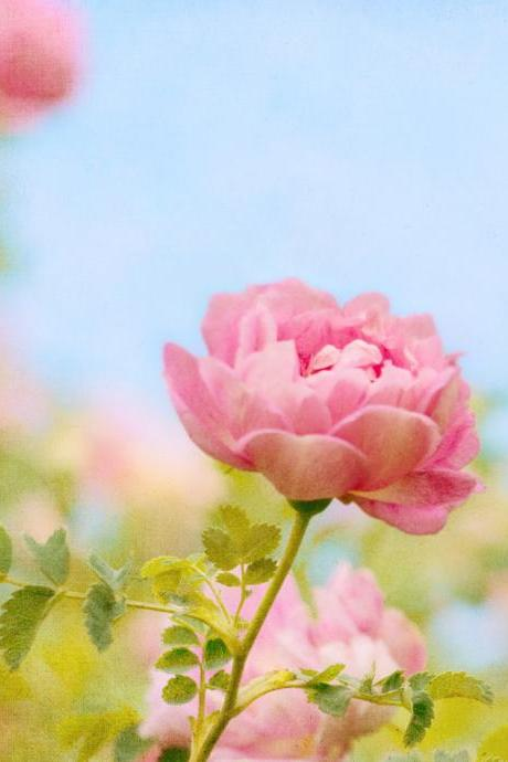 Sweetness Rose Flower Photograph Art Print