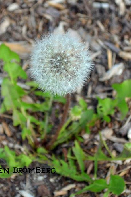 Dandelion Before the Breeze 8x10 Photograph