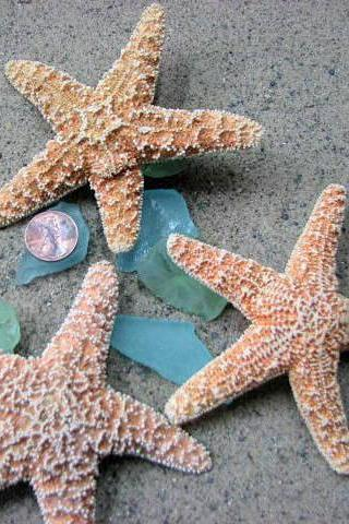 Starfish Beach Decor - Nautical Decor, Beach Wedding, or Craft 4-6in Sugar Starfish - 6pc