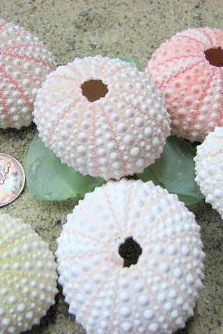 Beach Decor Pink Sea Urchins for Nautical Decor, Beach Weddings or Crafts - Pink, 1pc
