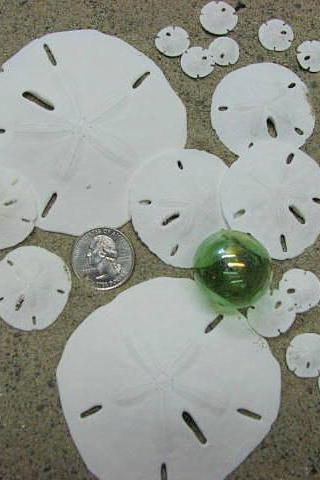 Sand Dollar Beach Decor Collection - Seashells - Nautical Decor Sand Dollars, 20pc