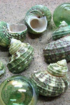 Sea Shells for Beach Decor - Nautical Decor, Beach Wedding or Craft Green Turbo Seashells 6pc