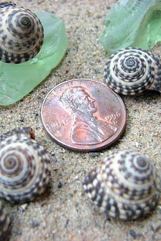 Nautical Decor Seashells - Beach Decor Heliacus Snail Shells for Crafts, 1 Dozen