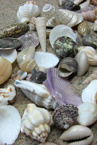 Beach Decor Seashell Mix - Medium Shell Mix for Jewelry, Nautical Decor or Crafts, 1.25 lbs