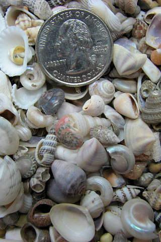 Seashell Mix for Beach Decor - Tiny Shell Mix for Nautical Decor, Jewelry or Crafts, 3oz bag