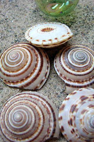 Seashells for Beach Decor - Nautical Decor Sundial Shells for Beach Weddings or Crafts - 6pc Spiral, Brown