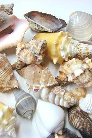 Shells for Beach Decor - (24) Assorted Lg. Seashells for Crafts or Nautical Decor- 24pc Large